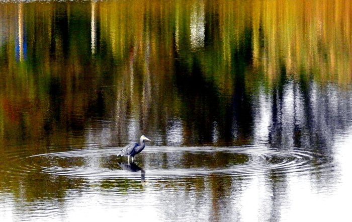 Baby Blue Heron in Shallow Pond Looking for Fish, by Paul Beckman