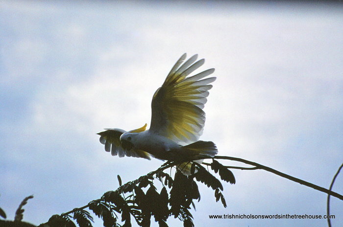 Open Winged Cockatoo by Trish Nicholson