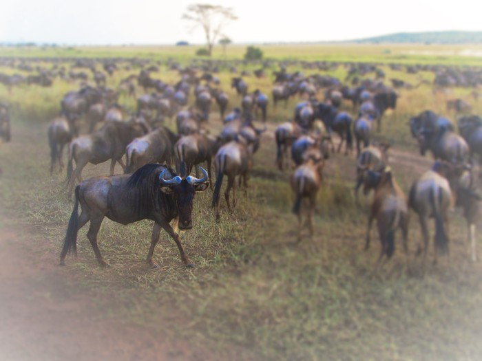 Blue Wildebeest by Jana Heise