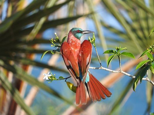 Northern Camine Bee-eater by Sally Quick